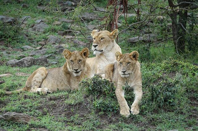 tři lvice