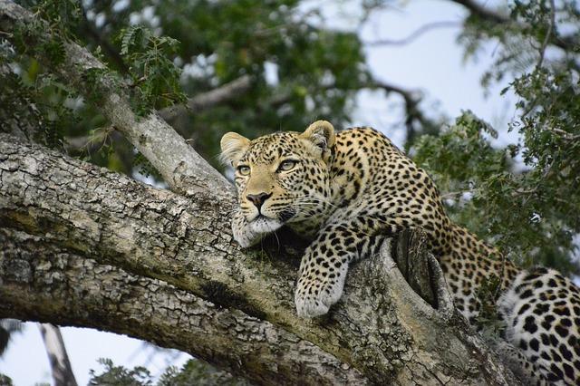 levhart na stromě