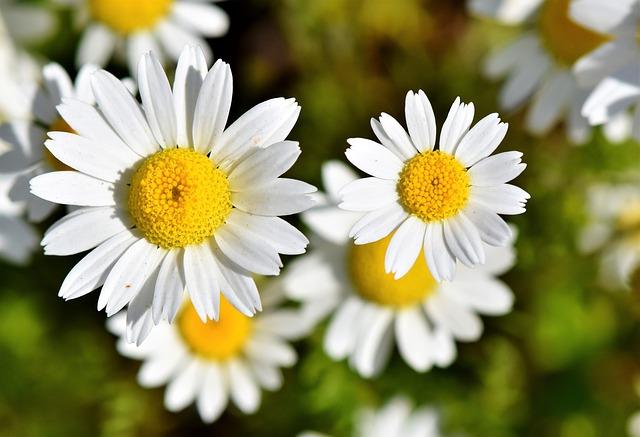 květy kopretin